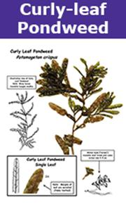 curly-leaf